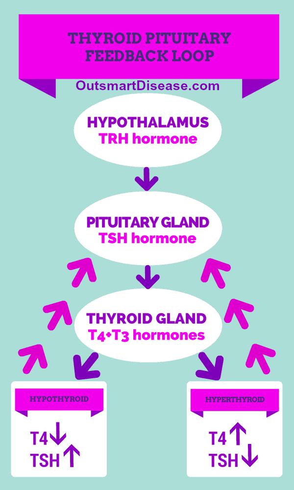 Thyroid pituitary feedback loop