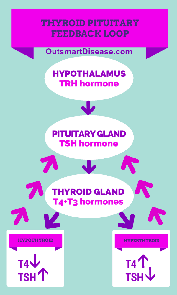 Thyroid pituitary feedback loop